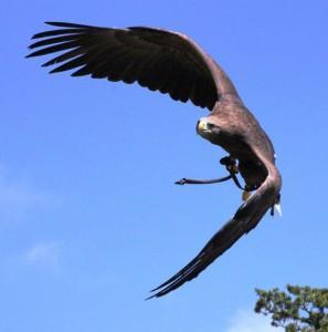 Adler - Greifvogel