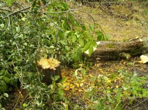 Birnbaum gefällt